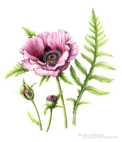 Oriental Poppy 'Patty's Plum'