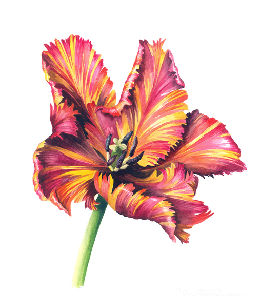 Tulip Red Orange