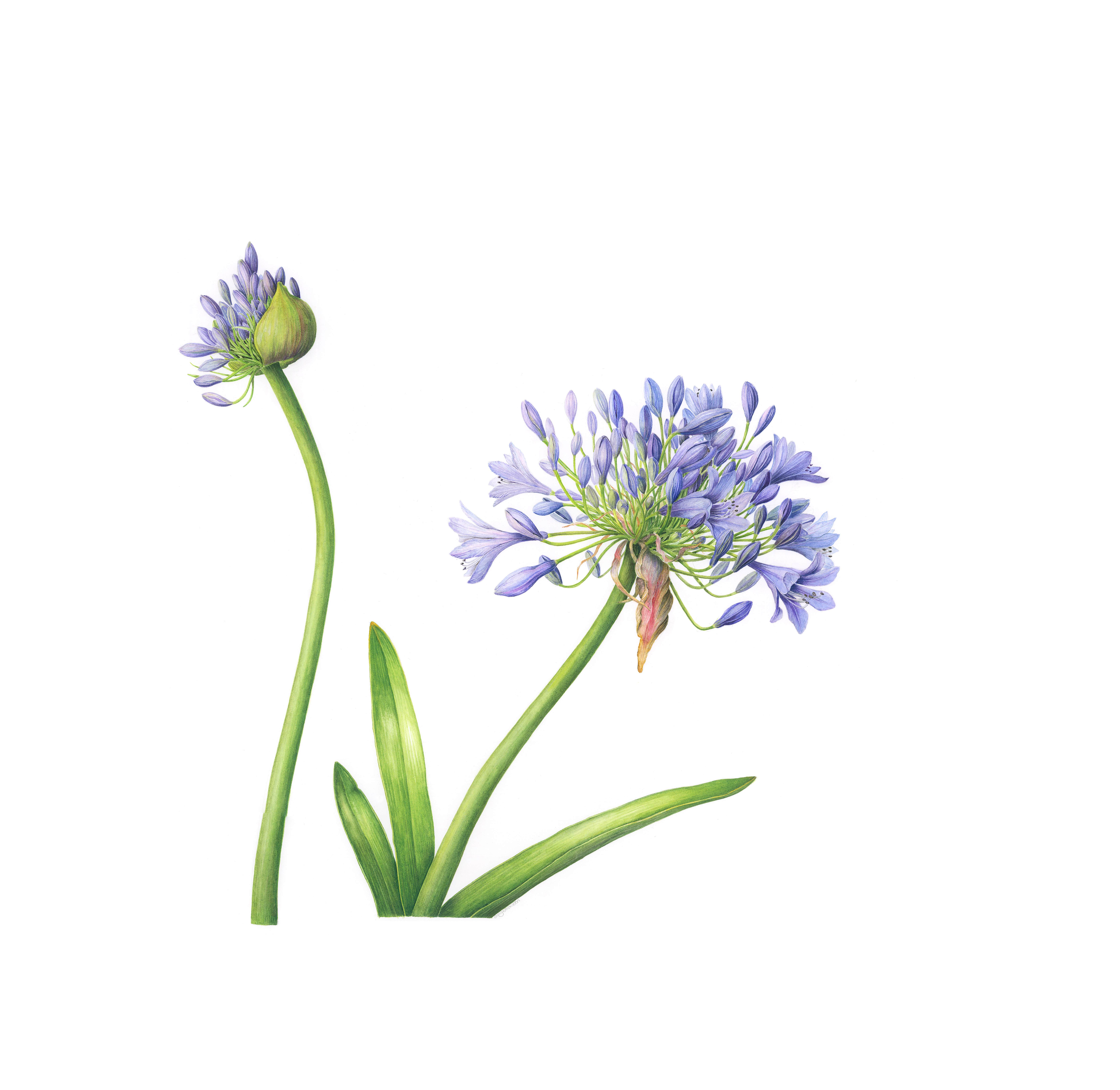 Agapanthus 2 proof