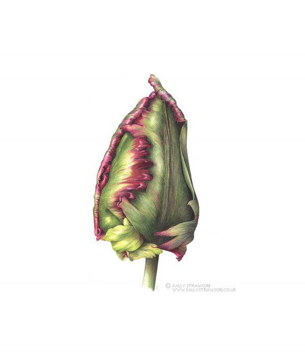 Tulip-Bud-e1623328179689