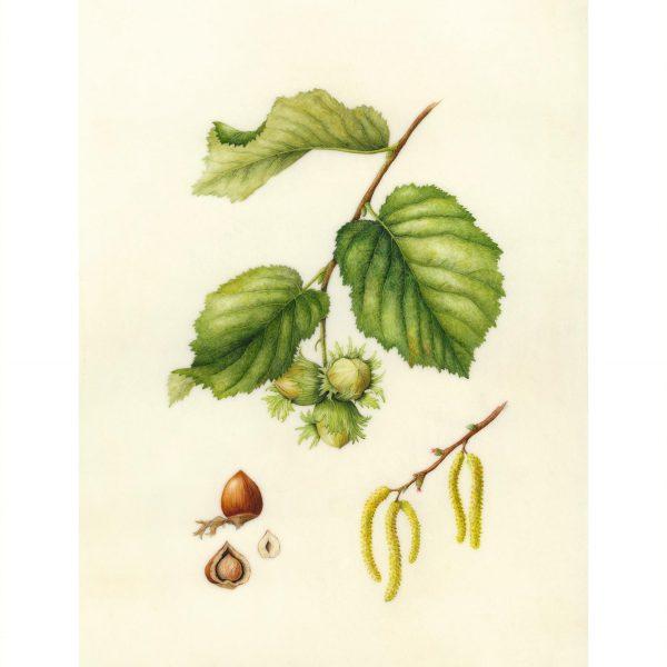 Corylus-avellana-Sally-Strawson-2016-e1623328204369