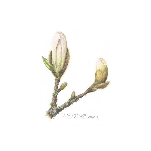 Magnoila-Bud_Branch-e1623328211945
