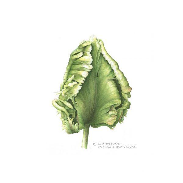 Tulip-Bud2-e1623328168885 (1)